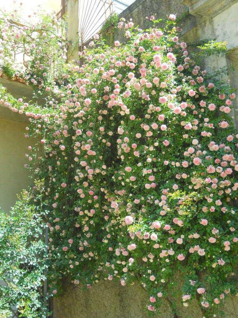 rampicanti da esterno giardino e balcone Vallesina - Il Vivaio ...